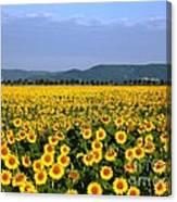 World Of Sunflowers Canvas Print