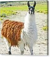 Wyoming Llama - El Tuffo Canvas Print