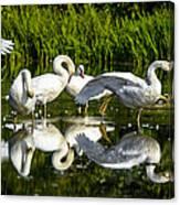 Y-m-c-a Swans Canvas Print