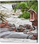 Yawning Hippo Hippopotamus Amphibius Canvas Print
