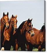 Yearling Thoroughbred Canvas Print