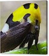 Yellow And Black Treehopper Canvas Print