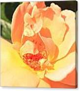 Yellow And Peach Rose Canvas Print