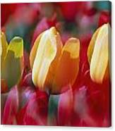Yellow And Red Tulip Blooms Canvas Print