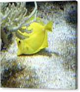 Yellow Angelfish Canvas Print