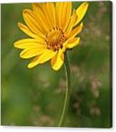 Yellow Aster Canvas Print