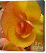 Yellow Begonia Canvas Print