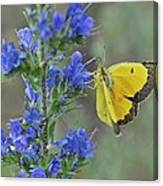 Yellow Cabbage Butterfly Canvas Print