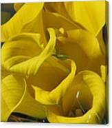 Yellow Calla Lilies Canvas Print