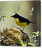 Yellow-crowned Euphonia Canvas Print
