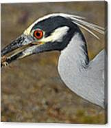 Yellow Crowned Night Heron With Catch Canvas Print