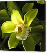 Yellow Cymbidium Canvas Print