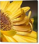 Yellow Daisey Closeup Canvas Print