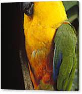 Yellow-faced Parrot Amazona Xanthops Canvas Print