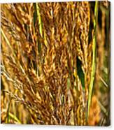 Yellow Feather Reed Grass Canvas Print
