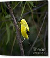 Yellow Finch - Artist Cris Hayes Canvas Print