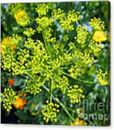 Yellow Firework Or Dill In Its Glory Canvas Print