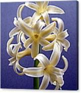Yellow Hyacinth Canvas Print
