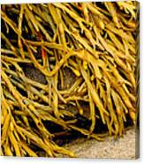 Yellow Kelp Canvas Print
