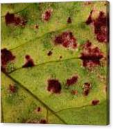 Yellow Leaf With Red Spots 2 Canvas Print