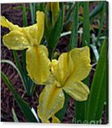 Yellow Louisiana Iris Canvas Print