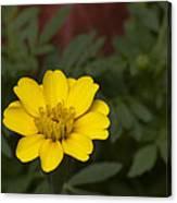 Small Yellow Zinnia Canvas Print