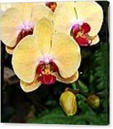 Yellow Moth Orchids Canvas Print