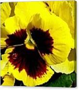 Yellow Pansey Canvas Print