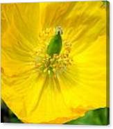 Yellow Poppy In Bloom Canvas Print