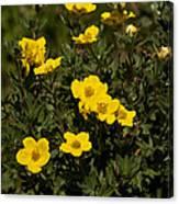 Yellow Potentilla Or Cinquefoils  Canvas Print