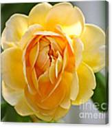 Yellow Rose Blooming Canvas Print