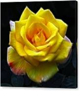 Yellow Rose In The Moonlight Canvas Print