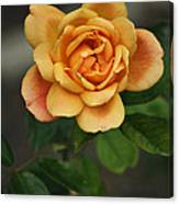 Yellow Rose Of Baden Canvas Print