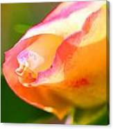 Yellow Rose Tipped In Pink Canvas Print