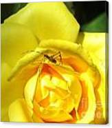 Yellow Rose Visitor Canvas Print