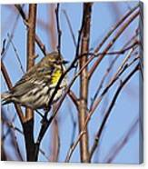 Yellow-rumped Warbler - Placid Canvas Print