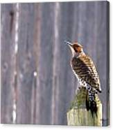 Yellow-shafted Flicker Posing Canvas Print