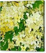 Yellow Shower Tree - 1 Canvas Print