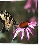 Yellow Swallowtail And Purple Coneflower Canvas Print