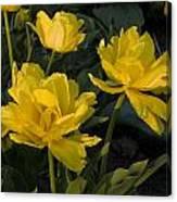 Yellow Tulips  Tulipes Jaune Canvas Print