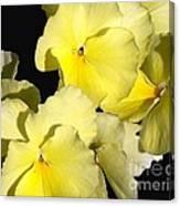 Yellow Violas Canvas Print