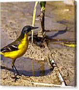 Yellow Wagtail Canvas Print