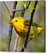 Yellow Warbler II Canvas Print