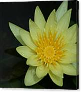 Yellow Waterlily - Nymphaea Mexicana - Hawaii Canvas Print