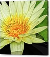 Yellow Waterlily Canvas Print