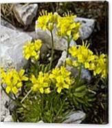 Yellow Whitlow-grass (draba Aizoides) Canvas Print