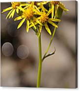 Yellow Wildflower At Crater Lake Canvas Print