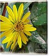 Yellow Wildflower Canvas Print