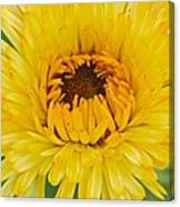 Yellow Zinnia 9494 4286 Canvas Print
