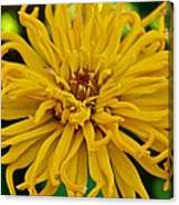 Yellow Zinnia_9480_4272 Canvas Print